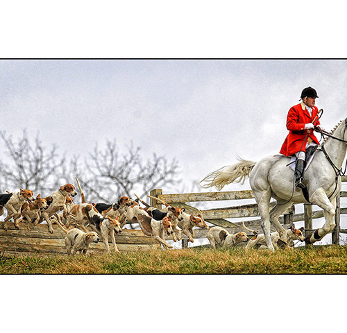 Fox Chasing Hounds & Hunters Note Cards & Portraits