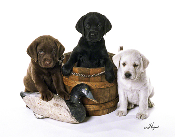 Labs Black Chocolate & Yellow Labrador Retrievers