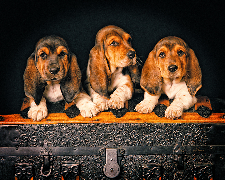 Basset Hounds We Cant Hear You