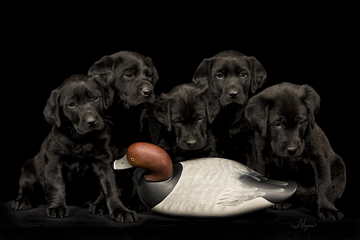 Labrador Retrievers<br>(Black)
