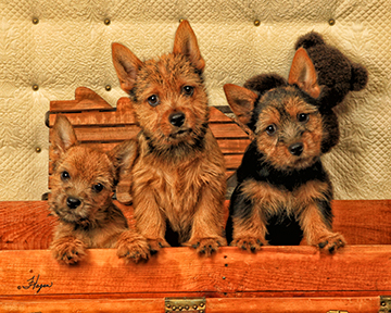Norwich Terriers 9612-8x10-web
