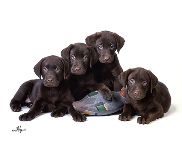 Labrador Retrievers<br> (Chocolate)