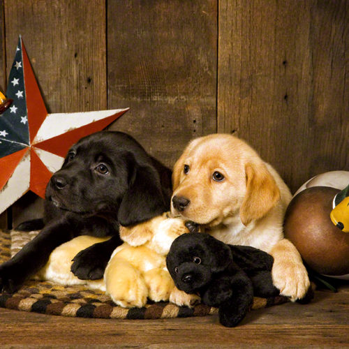 Labrador Retrievers<br>(Black / Yellow)