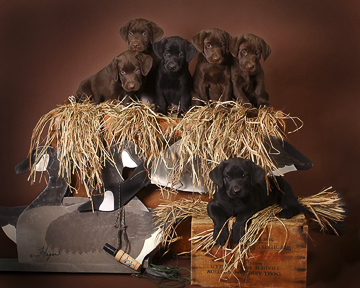 Labrador Retrievers<br> (Black / Chocolate)